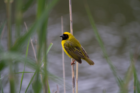 Yellow Southern Masked-Weaver sitting on a reed