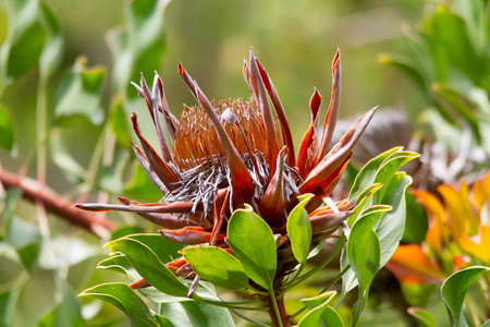 Protea Flower in Bloom with green leaves