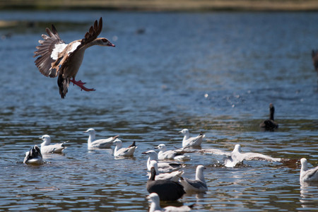 Flying Egyptian Goose landing on pond with birds