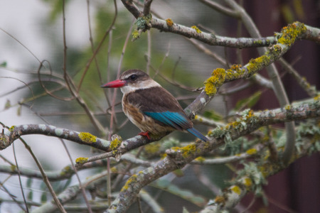 Brown-hooded kingfisher sitting in a tree