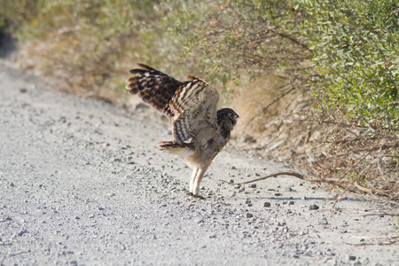 Cape Eagle Owl taking flight and sitting in the road