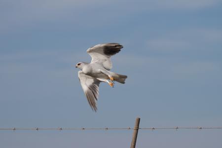 Black-shouldered Kite taking flight Stock Photo