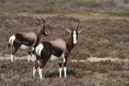Bontebok antelope grazing in the veld Stock Photo