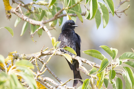 Fork-tailed Drongo bird sitting in a tree with green leaves Stock Photo