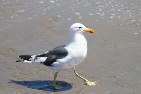 Isolated close up profile of a Kelp Gull in Namibia Stock Photo