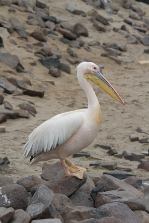 Close up portrait of a Great White Pelican walking on rocks