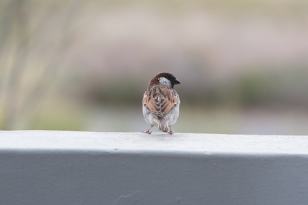 Close up of House Sparrow sitting on a wall