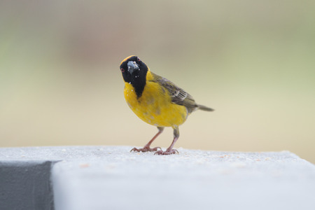 Close up of yellow Southern Masked-weaver sitting on a wall eating crumbs 写真素材
