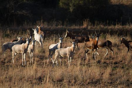 Herd of Blesbok grazing in the veld