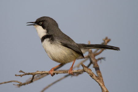 Close-up side profile of a Bar-throated Apalis sitting on a branch