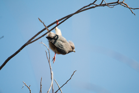 White-backed Mousebird in a tree with a blue background Stock Photo