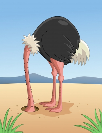 head in the sand: Ostrich hiding head in sand