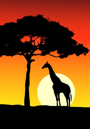 acacia tree: African Sunset background with giraffe