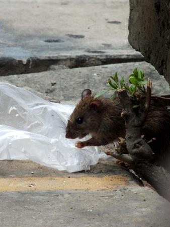 norvegicus: House rat