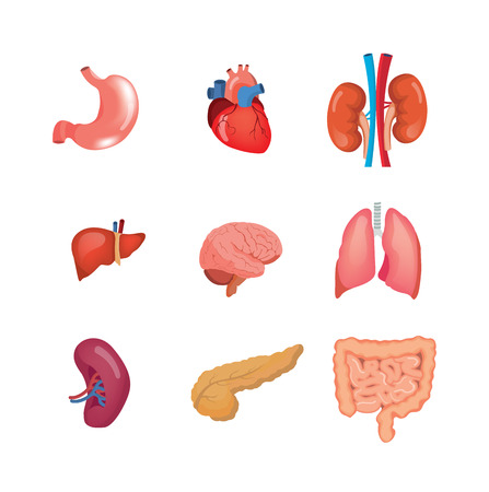 A set of human anatomy organs, in medical science.