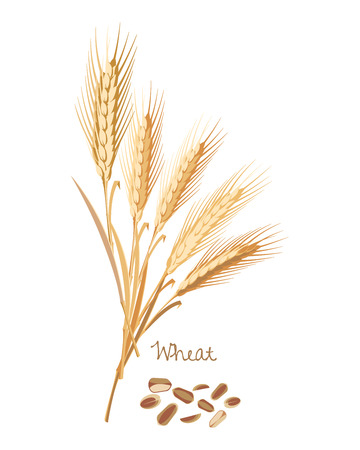Cereals plants. Wheat with leaves, stems, grains. Food and ingredients. Illustration