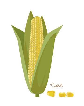 Cereals, legumes, plants. Ripe corn cobs with leaves and grains.