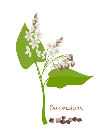Cereals, legumes and plants. Buckwheat with flower, leaves and grains.