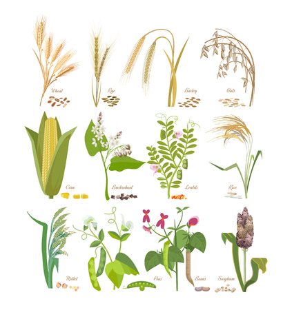 Set of cereals and legumes plants with leaves and flowers. Illustration