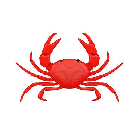 Red sea crab . Species crustacean lobsters of seas and oceans. Çizim