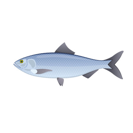 Herring colorful river fish swimming on blue deep sea icon design vector illustration