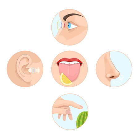Set of five senses of man. Anatomy of human organs. Stock Vector - 96907371