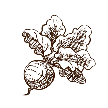 Autumn harvest concept. Farmer's fresh vegetables and fruits. Fresh beetroot with a bundle of leaves. Useful vegetables, vegetarianism. Vector illustration in style engraving.