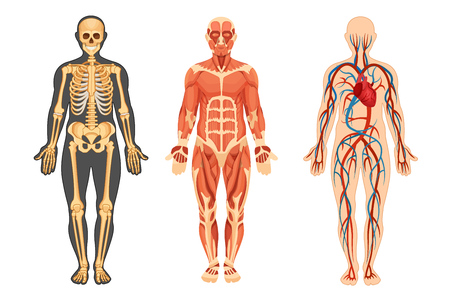 Anatomical structure of the human body, skeleton, muscular system and system of blood vessels with arteries, veins, front view. Detailed human system in full growth. Vector illustration. Çizim