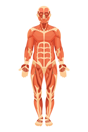 Anatomical structure of human body, presented in form of detail of muscle groups, tendons and ligaments, front view. X-Ray detailed muscle structure system of man in full growth. Vector illustration.