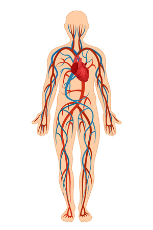 Anatomical structure of human body, presented detail of circulatory system, blood arteries, veins, bloodstream. Structure human cardiovascular, circulation sanguine venous system. Vector illustration. Ilustracja