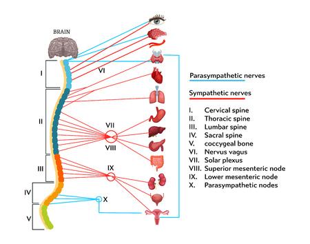 Infographics-schema van de anatomische structuur van het menselijk zenuwstelsel. Vector Illustratie