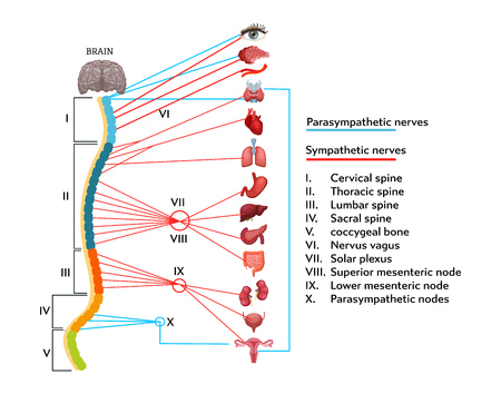 Infographics scheme of anatomical structure of human nervous system. Stock fotó - 123637659