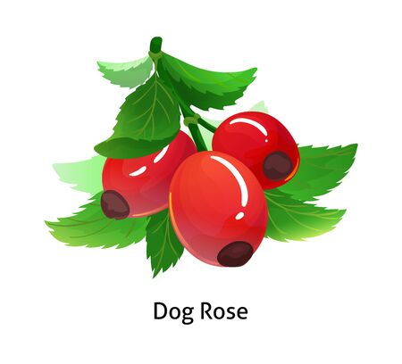 Dog rose berries with leaf on white background.