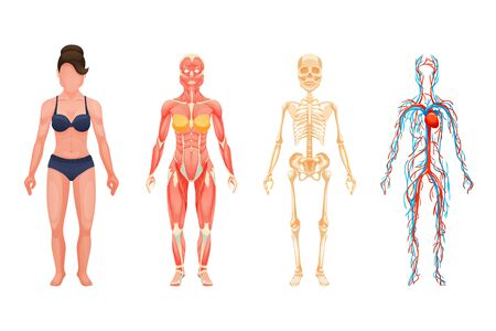 Anatomical structure of body of person, woman body.