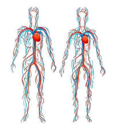 해부학 적 구조 인체. 동맥, 정맥이 있는 혈관. 벡터 (일러스트)
