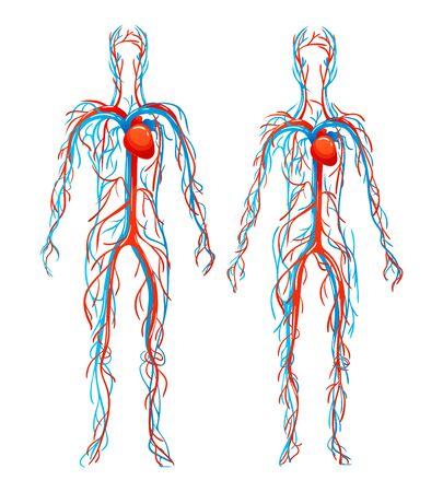 Estructura anatómica de los cuerpos humanos. Vasos sanguíneos con arterias, venas. Ilustración de vector