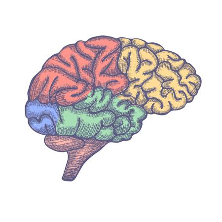 Engraving brain illustration, Hand Drawn Anatomical Illustration. Vector illustration Illustration