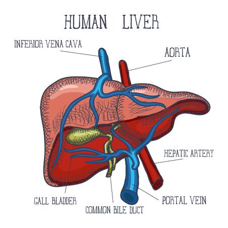 Schetsinkt Menselijke lever, hand getrokken, krabbelstijl, gegraveerde anatomische illustratie. Vector illustratie
