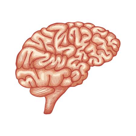 details: Sketch Ink Human Brain, hand drawn, Engraved Anatomical illustration. Vector illustration
