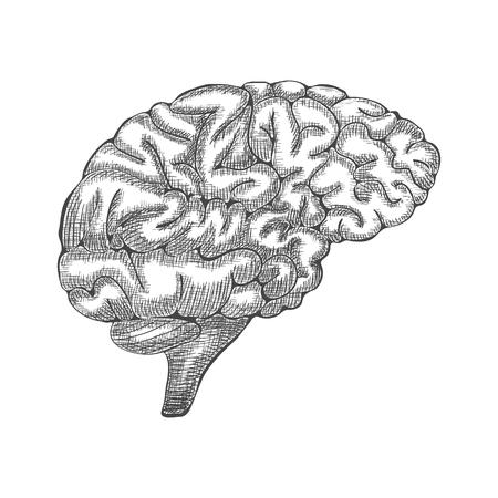 details: Engraving brain illustration, Hand Drawn Anatomical Illustration. Vector illustration Illustration