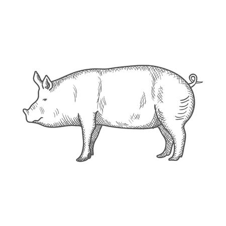 Pig vintage engraved illustration isolated on a white background. Vector illustration Illustration