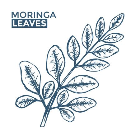 Hand Drawn Moringa Leaves on white pattern.