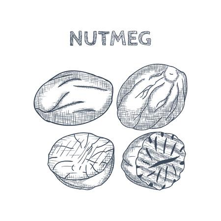 Hand Drawn Nutmeg on White background. Vector illustration