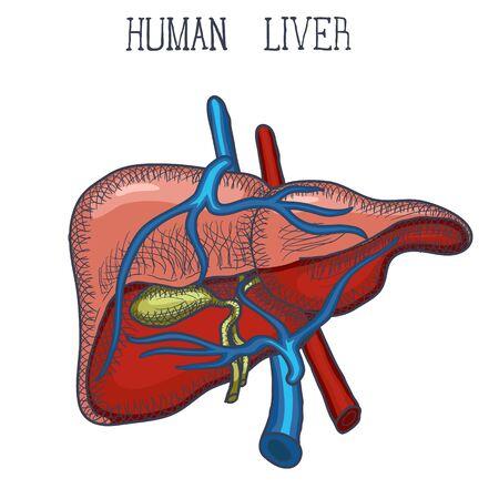 Schizzo Ink Fegato umano, disegnato a mano, stile scarabocchio, illustrazione anatomica incisa. Illustrazione vettoriale
