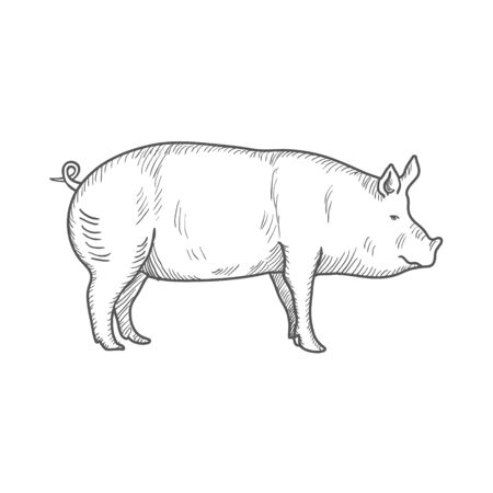 Pig vintage engraved illustration isolated on a white background.