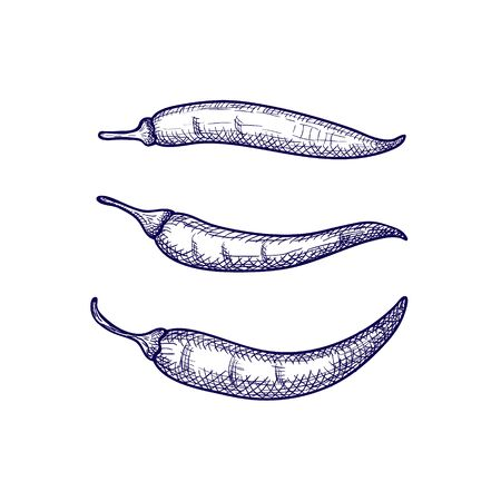 Hand Drawn Set of Chili Peppers Isolated on White Background. Vector illustration