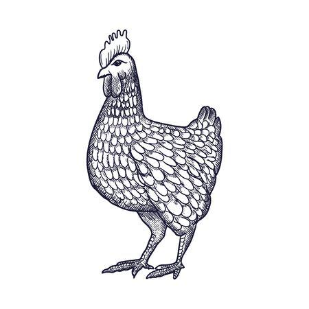 Gallina o pollo disegnata a mano con linee di contorno su sfondo bianco. Disegno monocromatico elegante dell'uccello domestico del pollame dell'azienda agricola. illustrazione in stile vintage xilografia, incisione o incisione. Illustrazione vettoriale Vettoriali