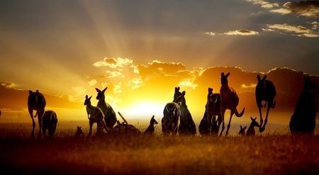 australia landscape: Sunset Australian outback kangaroo series Stock Photo