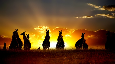 aussie: Sunset Australian outback kangaroo series Stock Photo