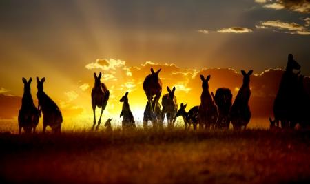 夕焼けオーストラリアのアウトバックのカンガルー シリーズ 写真素材